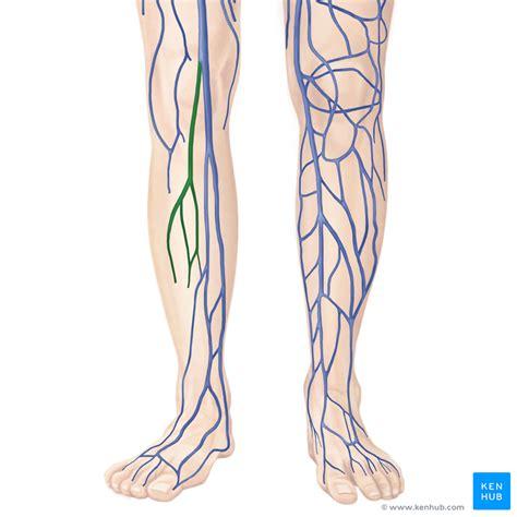 In Vein small saphenous vein anatomy kenhub
