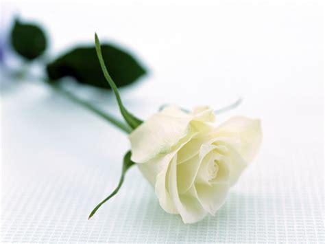 gambar bunga mawar putih  indah pernik dunia