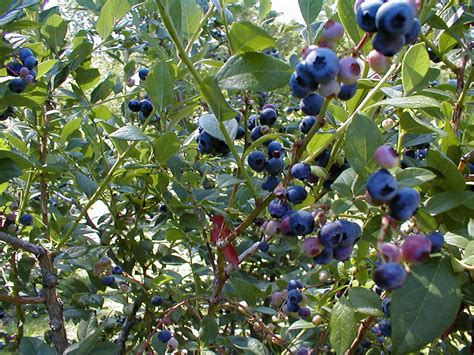 backyard berry plants blueberries plant care guide blueberries in containers