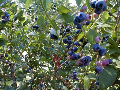 Blueberry Garden june 2013 auntie dogma s garden spot page 11