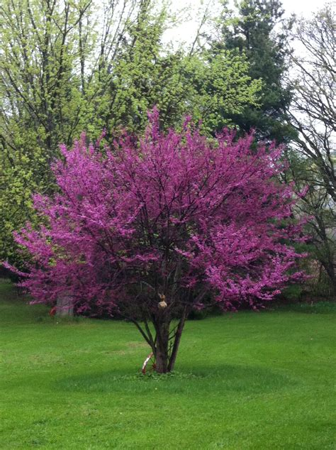 eastern redbud native indiana plants pinterest