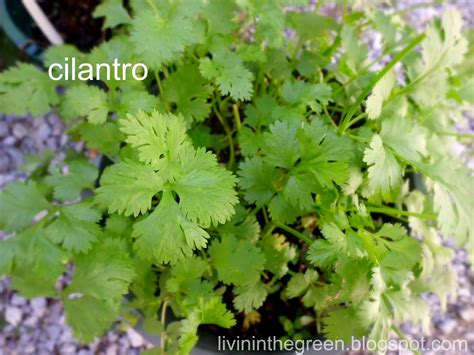 livin in the green growing cilantro in pots all season