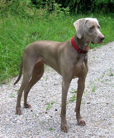 weimaraner puppy weimaraner breed 187 information pictures more