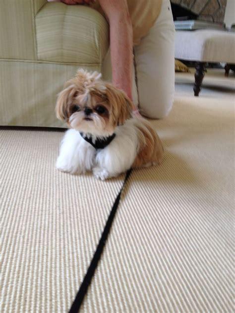 shih tzu puppy wont eat 1000 ideas about baby shih tzu on shih tzu shih tzu puppy and shih tzu