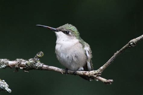 citizen science tuesday hummingbirds journey north cool