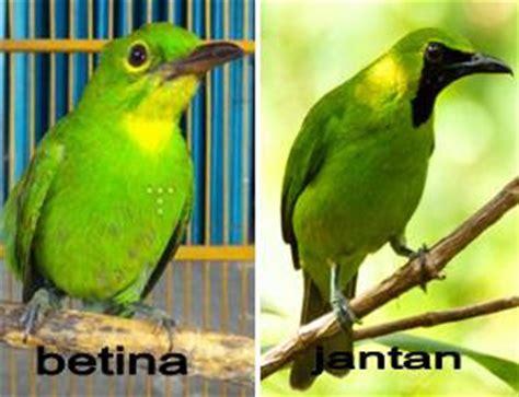 Cucak Jenggot Jawa Muda cara membedakan burung cucak hijau jantan dan betina