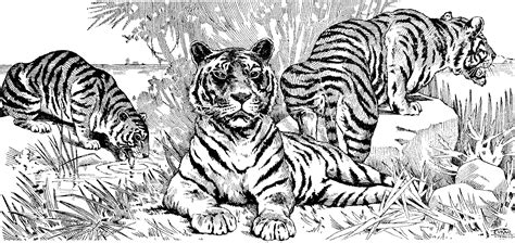 coloring book pages tiger free tiger coloring pages