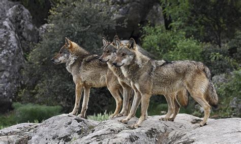 9 best images about wolf wolf cull sparks outrage in italy wolf watch uk