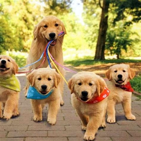 chion golden retriever 16 photos qui prouvent que les golden retrievers sont des chiens avec la quot cool attitude quot