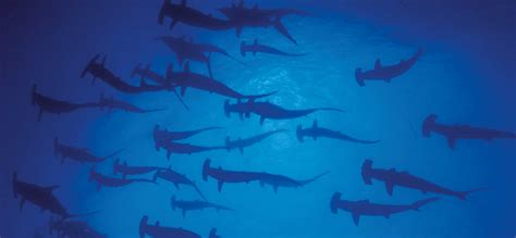 baby shark japan hammerhead sharks experience japan inside japan tours
