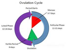 ovulation ovulation cycle