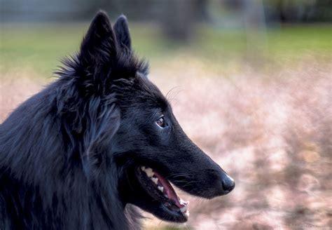 belgian sheepdog puppies free photo belgian sheepdog black free image on pixabay 1505728