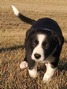 border collie puppies missouri 25 best ideas about collie puppies for sale on