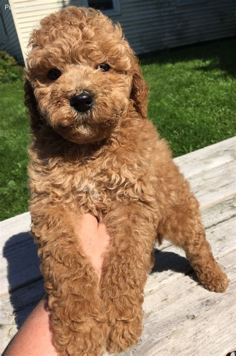 how to register a with akc without papers cockapoo babies