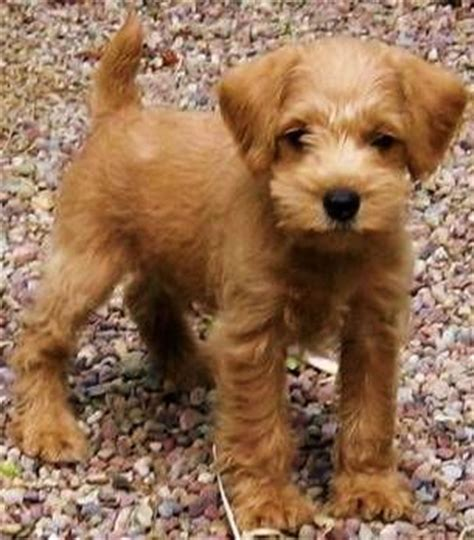 the apricot schnoodle easily trained don t shed