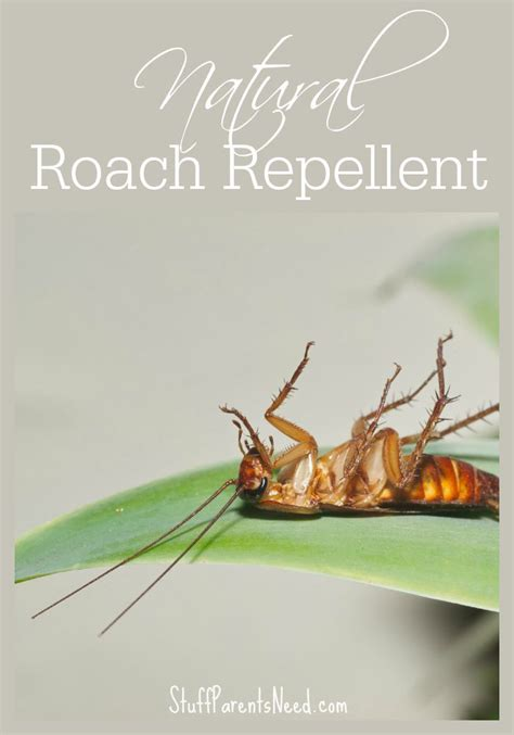 roach repellent what s working for me to be