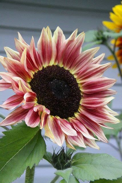 yellow and pink sunflowers flower pink yellow sunflower flower bed yellow