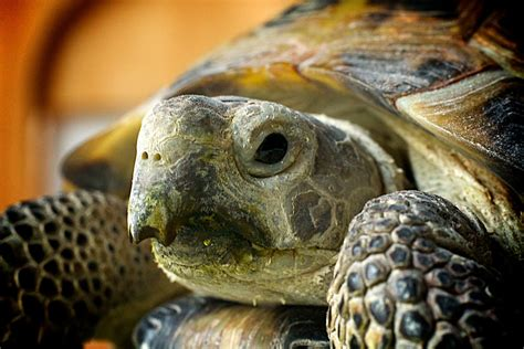 russian tortoises 14 things about russian tortoises you didn t animal