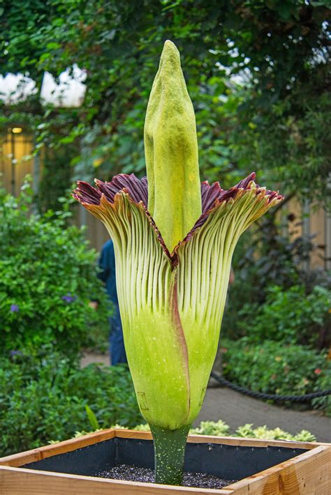 botanical gardens corpse flower corpse flower blooms at chicago botanic garden