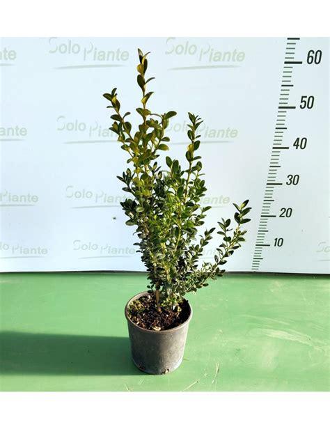 buxus sempervirens in vaso bosso comune buxus sempervirens vaso 15 cm vendita