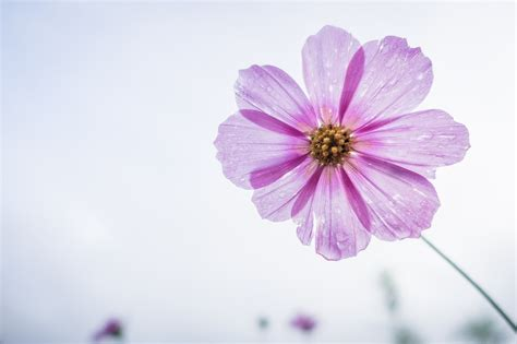 flower garden photos free free photo cosmos flower flower garden free image on