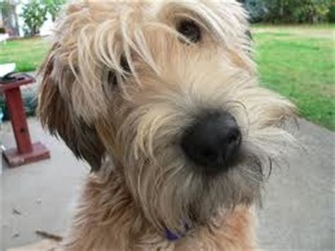 wheaten haircuts 95 best images about wheaten terrier freeway s breed on