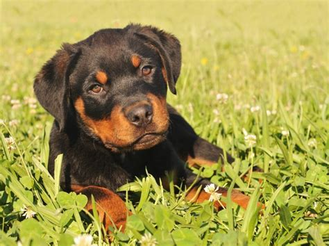 facts about rottweilers 28 rottweiler facts everyone needs to tanipertani