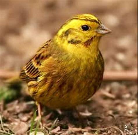 alabama state bird yellow hammer alabama