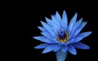 Blue Lotus High Wallpaper Blue Lotus Hd Flowers 3498