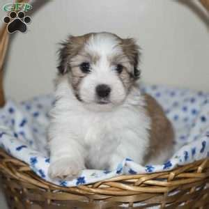 havanese puppies for sale in maryland havanese puppies for sale in pa md ny nj