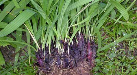 cara membuat zpt dengan bawang merah tips cara menanam bawang dayak dengan mudah