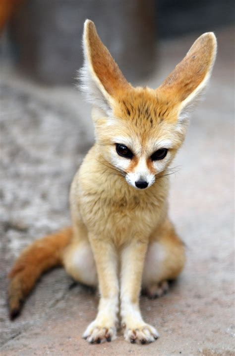 fennec fox facts and pictures images all wildlife