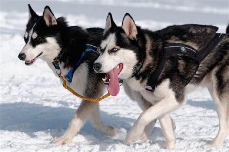 siberian husky appartamento husky siberiano ra 231 as de cachorros grandes cachorrogato
