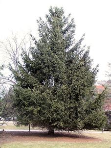 trimmery 3b 75 lakewood spruce isu forestry extension tree identification spruce picea abies