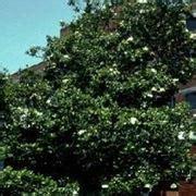magnolia fiore significato magnolia stellata alberi caratteristiche della