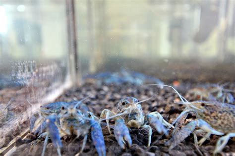 Where Were The Marble Crayfish Descoverd - invasive marbled crayfish found in narva power plant