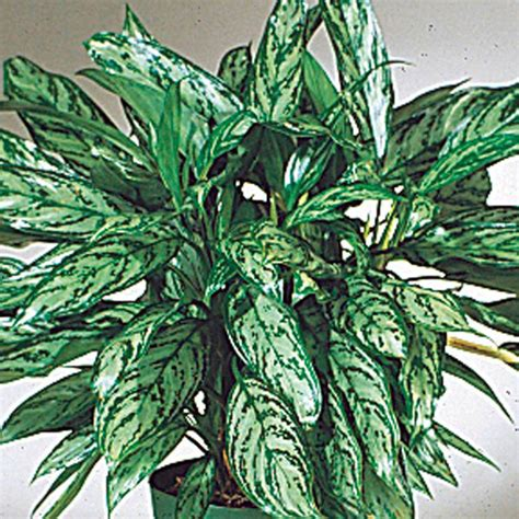 chinese evergreens chinese evergreen aglaonema species my garden life