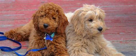 mini labradoodles oklahoma miniature goldendoodle puppy poodle puppy