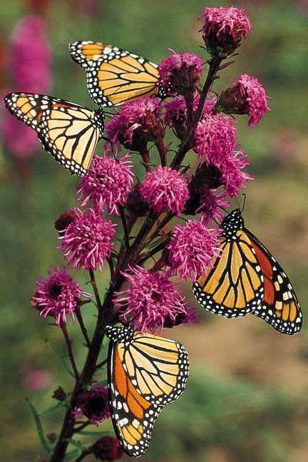 gardening for butterflies endangered new jersey butterfly and hummingbird gardens
