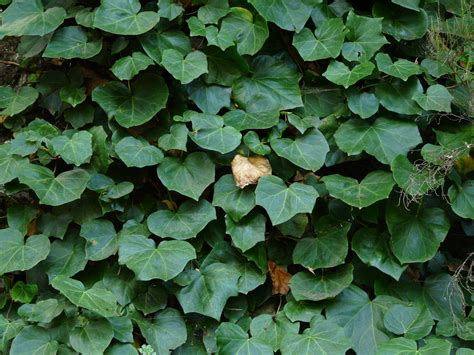 english ivy hedera ivy english
