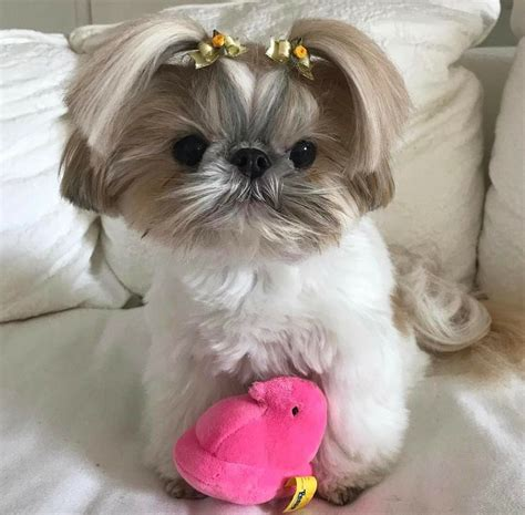 shih tzu stubborn 17 best ideas about baby shih tzu on shih tzu puppy shih tzu and shih tzu