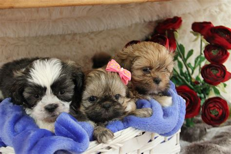shih tzu puppies for sale arizona shih tzu puppies for sale az 245160 petzlover