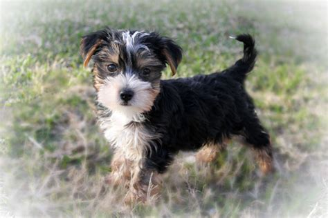 morkie puppies for sale in louisiana morkie puppies for sale in louisiana princess puppies