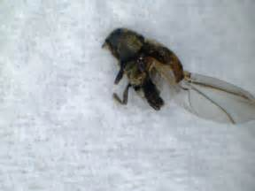 What Do Carpet Beetles Look Like Natureplus Anthrenus Verbasci Do I Carpet Beetle