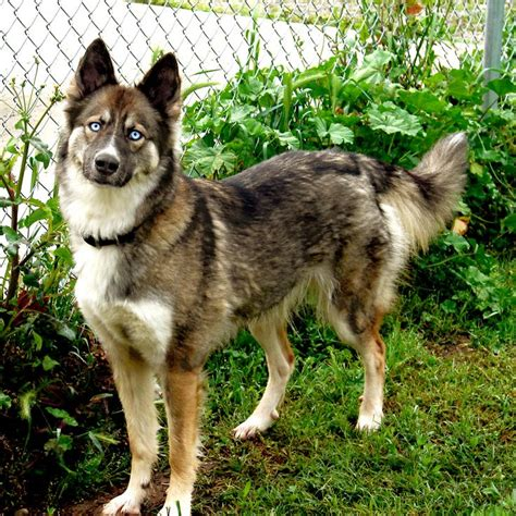 german shepherd mixed with husky gerberian shepsky german shepherd siberian husky mix