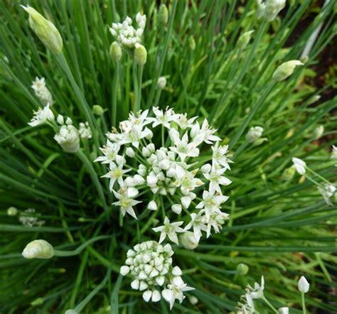 Biji Bunga Allium benih garlic chives bawang kucai