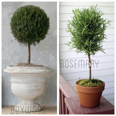 how to make a boxwood topiary diy living rosemary and boxwood topiary tutorial on a