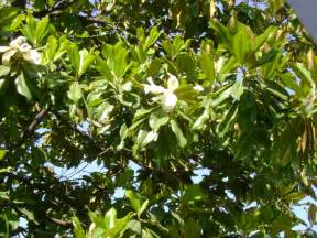 magnolia tree pictures photos info on the magnolia tree species