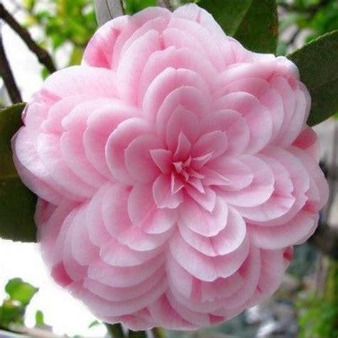 hot sale 50 pcs bag camellia seeds home garden flowers