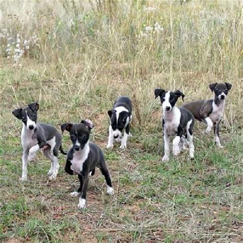 mini greyhound puppies miniature pinscher italian greyhound mix italian greyhounds toys